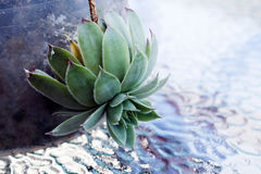 Sempervivum tectorum on a glass background Royalty Free Stock Photography