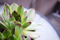 Sempervivum tectorum great healthy plant for herbal medicine. Sempervivum tectorum,Common Houseleek, - perennial plant growing in flower pot. Sempervivum in Stock Photo