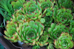 Sempervivum tectorum herb Royalty Free Stock Photos