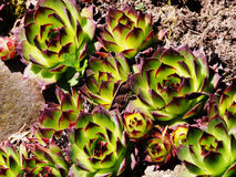 Sempervivum tectorum Royalty Free Stock Photography