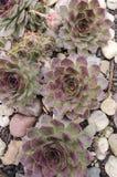 Sempervivum tectorum houseleek Stock Photography