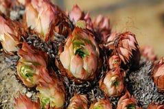 Sempervivum tectorum - Houseleek on stone Royalty Free Stock Image