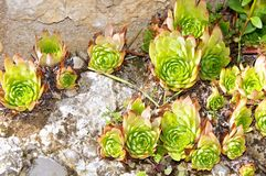 Sempervivum Tectorum, Italy Appennine mountains Stock Photos