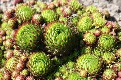 Sempervivum tectorum, lecznicza roślina od herbarium Obraz Royalty Free