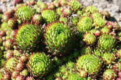 Sempervivum tectorum, a medicinal plant from herbarium Royalty Free Stock Image