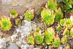 Sempervivum Tectorum, montanhas de Itália Appennine Fotos de Stock