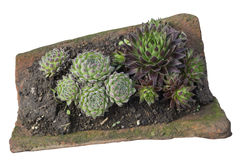 Sempervivum tectorum in a old clay roofing tile Royalty Free Stock Images