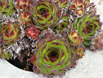 Sempervivum tectorum. Plant,also known as houseleek Stock Image