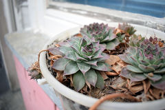 Sempervivum tectorum in a pot on the patio Stock Photography