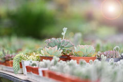 Sempervivum tectorum Succulent plants Stock Image