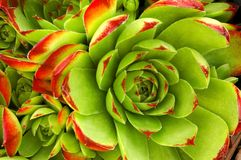 Sempervivum x versicolor   Stockfotos