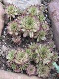 Sempervivummarmoreum Royalty-vrije Stock Afbeelding