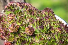 Sempervivumtectorum Stock Fotografie
