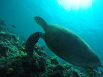 Semporna sea turtle Royalty Free Stock Images