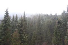 Sempre-verde nevado Fotografia de Stock Royalty Free