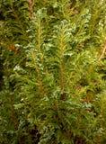 Sempre-verde novo Fotografia de Stock