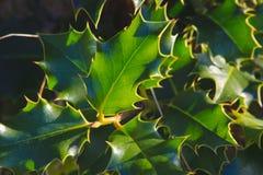 Sempre-verde pontudo fotografia de stock royalty free