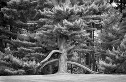 Sempreverde antico in bianco e nero fotografie stock libere da diritti