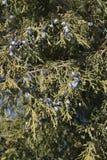Sempreverde con le bacche Fotografie Stock