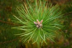 Sempreverde del ramo del pino, stagione, decorativa, ago, inverno, abete rosso, Immagine Stock