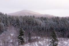 Sempreverdi di Snowy Fotografie Stock Libere da Diritti