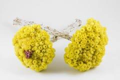 Sempreviva ( Helichrysum Melitense ) Royalty Free Stock Photo