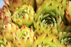 Semprevivum. A typical European succulents: semprevivum Royalty Free Stock Photos