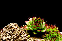 Semprevivum. A typical European succulents: semprevivum Royalty Free Stock Image