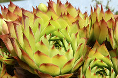 Semprevivum. A typical European succulents: semprevivum Royalty Free Stock Photography
