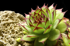 Semprevivum. A typical European succulents: semprevivum Royalty Free Stock Images