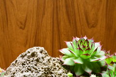 Semprevivum. A typical European succulents: semprevivum Stock Photography