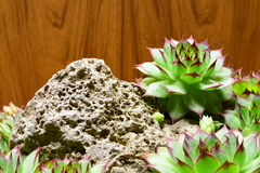 Semprevivum. A typical European succulents: semprevivum Stock Photo