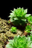 Semprevivum. A typical European succulents: semprevivum Stock Photos