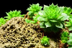 Semprevivum. A typical European succulents: semprevivum Royalty Free Stock Photo