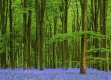 Sen eftermiddag i ett härligt blåklockaträ Arkivbild