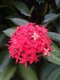 Sen kwiat Zdjęcie Stock