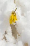 Sen snö på blommande gul forsythia Royaltyfri Fotografi