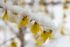 Sen snö på blommande gul forsythia Royaltyfri Bild