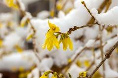 Sen snö på blommande gul forsythia Arkivbilder