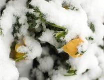 sen snowfjäder Arkivfoto
