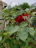 Sen v?r Rose Blooms royaltyfri bild