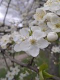 sen Wiosna Ukraińska wiśnia Natura zdjęcia stock