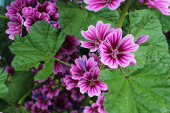 SenAoi to bloom on the road. Mallow will bloom stretched stems vertically Stock Image