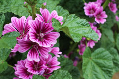 SenAoi to bloom on the road. Mallow will bloom stretched stems vertically Royalty Free Stock Images
