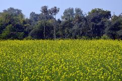 Senapfält i Kajuraho, Indien Arkivfoton