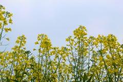 Senapsgula växter i lantgårdar, i att stå högväxt i dagtid arkivfoton