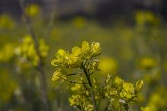 Senapsgult blomma royaltyfri foto