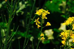 Senapsgult blomma royaltyfria foton