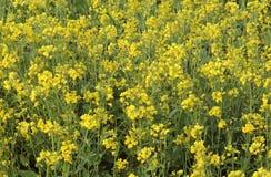 Senapsgult blomma Arkivfoto