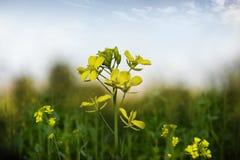 Senapsgult blomma fotografering för bildbyråer